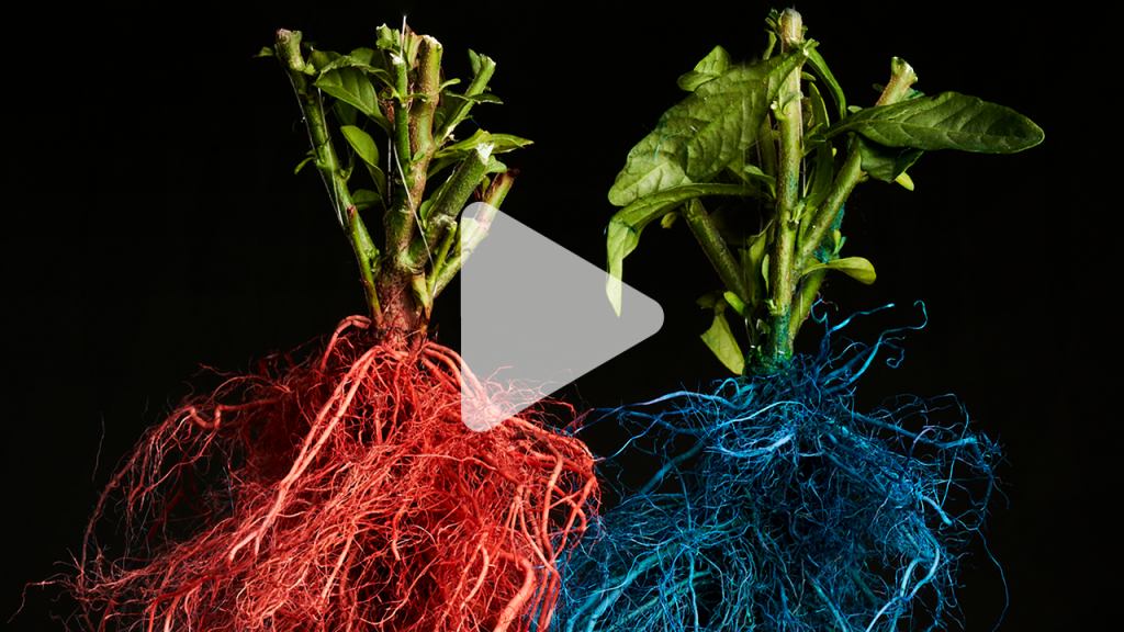 Watch roots from different plants compete for prime real estate underground   Science   AAAS